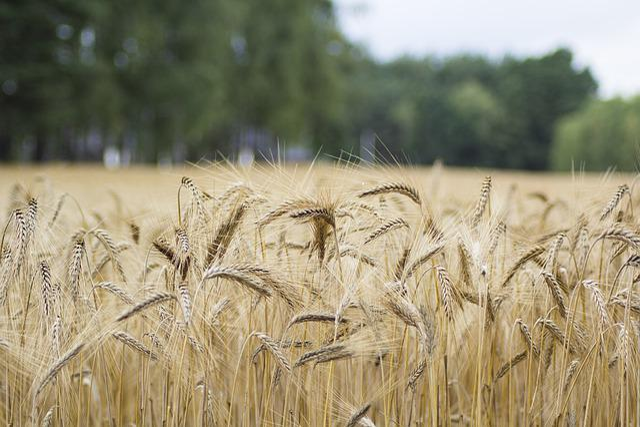Rice, Field, Farm, Agriculture, Nature, Landscape