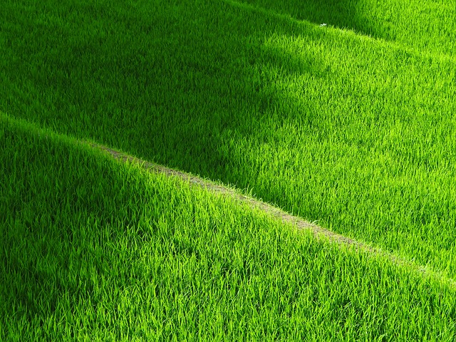 Rice Terraces, Yamada's Rice Fields, Japan, Rice, Green