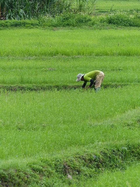 Farmer, Rice, Thailand