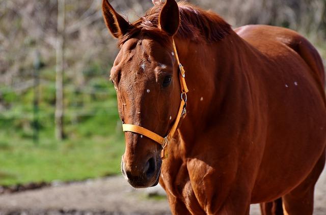 Horse, Stallion, Horse Head, Brown, Ride, Mare, Head