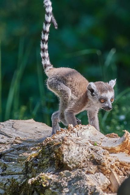 Monkey, Lemur, Young Animal, Ring Tailed Lemur