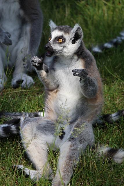 Ring Tailed Lemur, Lemur, Primates, Madagascar