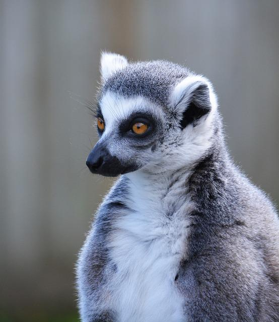 Lemur, Ring Tailed Lemur, Primate, Mammal, Wildlife