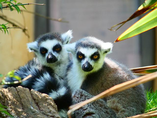 Lemur, Ring Tailed Lemur, Wildlife, Animal, Primate