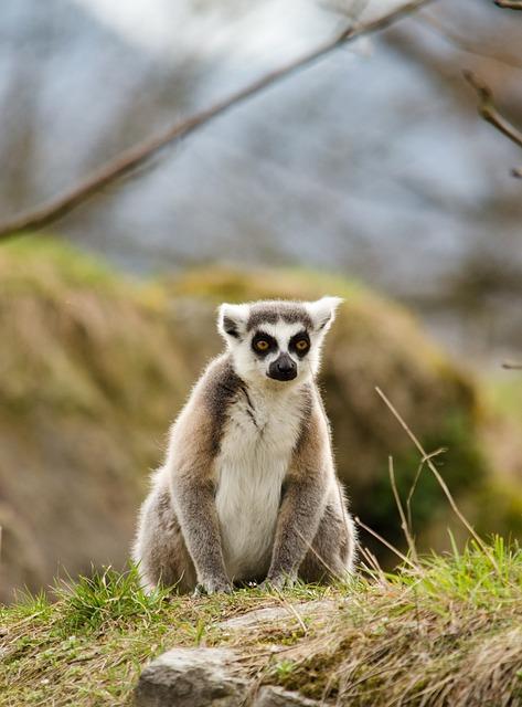 Lemure, Zoo, Ring Tailed Lemur, Tiergarten