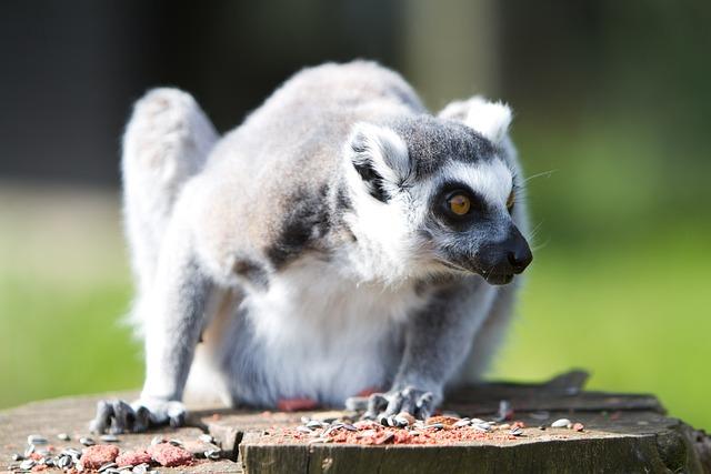 Lemur, Animal, Zoo, Mammal, Ring-tailed