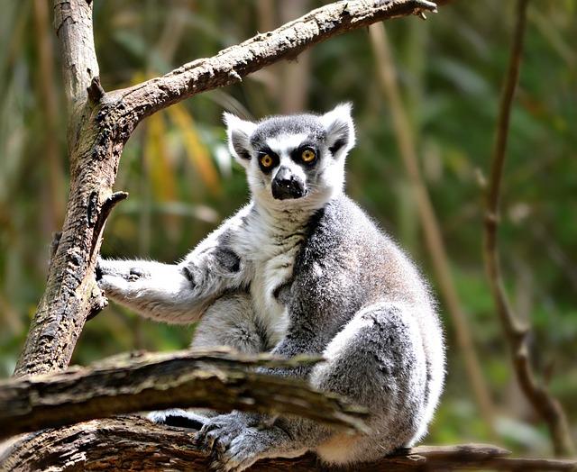 Lemur, Animal, Nature, Primate, Ring-tailed, Wildlife