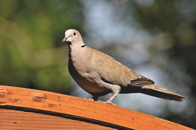 Dove, Ringdove, Bird, Animal