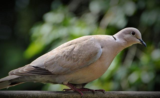 Dove, Ringdove, City Pigeon, Bird, Nature, Garden