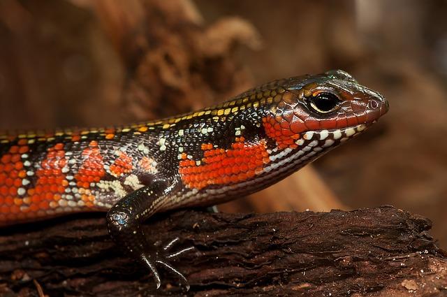 Splendor Skink, Skink, Riopa Fernandi, Reptile