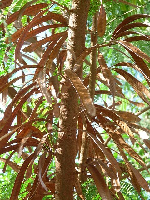 Seeds, Pods, Ripe, Acacia, Acacia Karroo, Hawthorn
