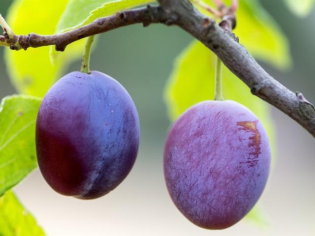Plums, Fruit, Ripe, Branch, Fruits