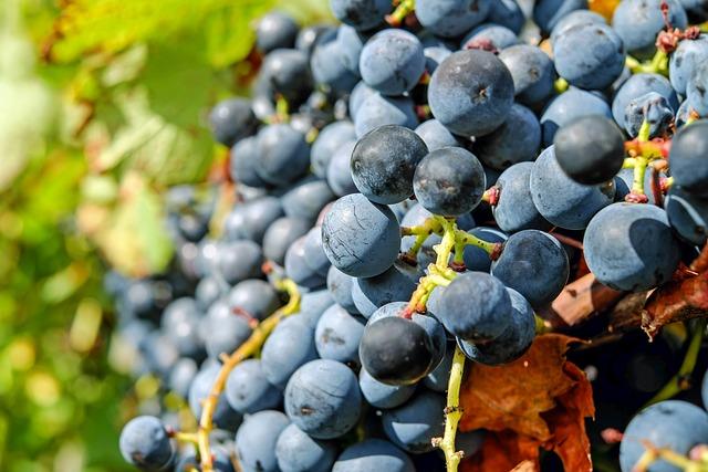 Grapes, Fruit, Blue, Blue Grapes, Ripe Grapes