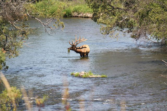River, Elk, Wildlife, Park, Wild, Animal, Deer, Mammal