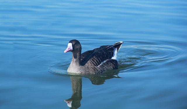 Water, Bird, Lake, Duck, Nature, River, Swimming, Cute