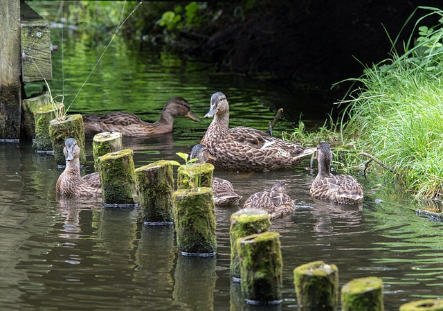 Ducks, Duck Family, Waters, Nature, Lake, River