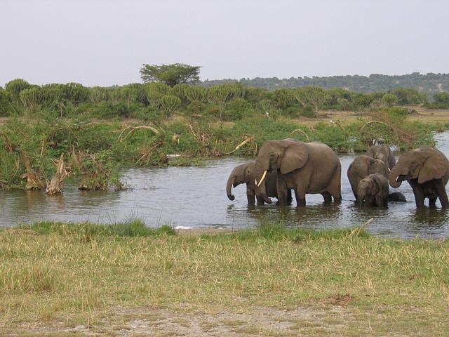 Elephants, Animals, Wildlife, Forests, Ponds, River