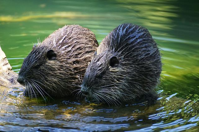 Nutria, Rodent, River