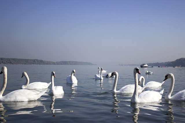 Swans, River, Water, Beautiful, White, Swim, Peaceful