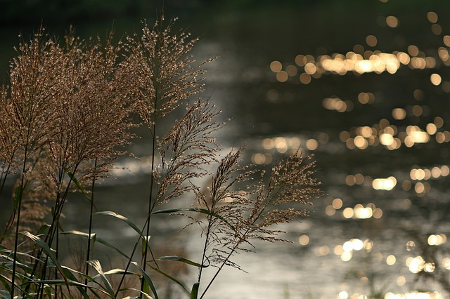 Foxtail, Reed, Riverside, Autumn, Pool, Break, Scenery