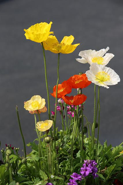 Roadside, Flower, Color, Poppies