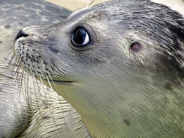 Robbe, Seal, Howler, Aquatic Animal, Animal, Water