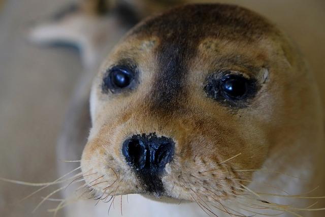 Seal, Snout, Robbe, Meeresbewohner, Animal, North Sea