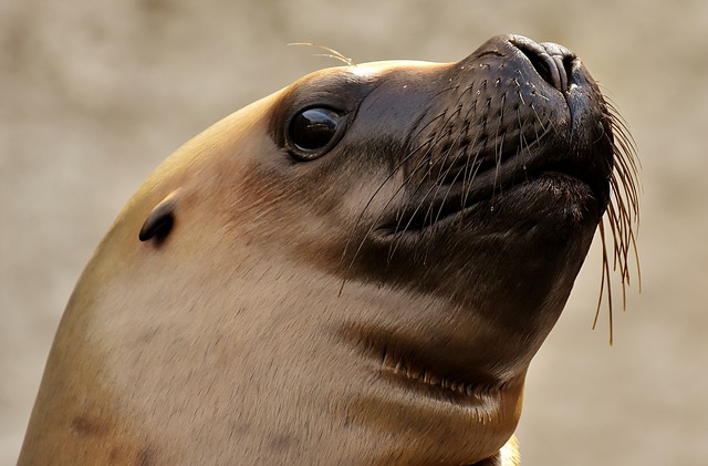Seal, Sea Lion, Water, Robbe, Meeresbewohner, Animal