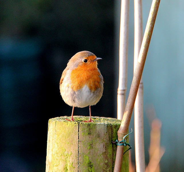 Robin, Batman, Lake District, Bird, Fauna