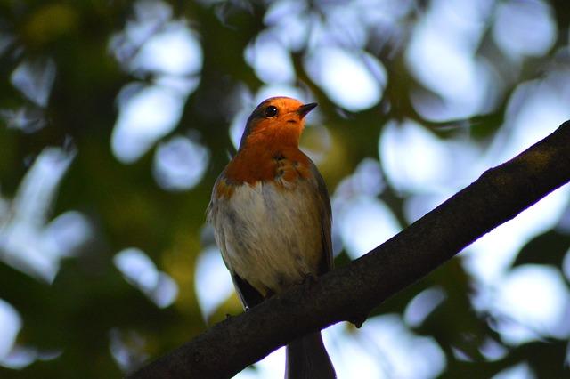 Robin, Bird, Red Robin