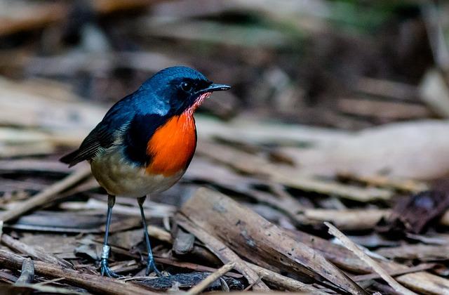 Robin, Firethroat, Little, Birds, Orange, Zoo