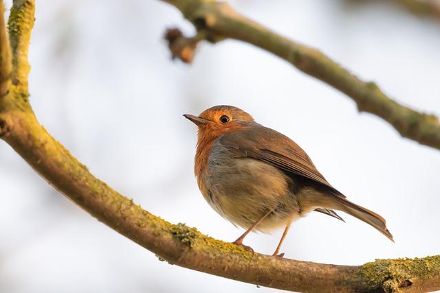 Robin Redbreast In Tree, Robin, Robin Redbreast