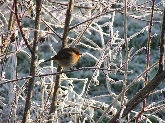 Winter, Robin, Frost, Ripe, Branches