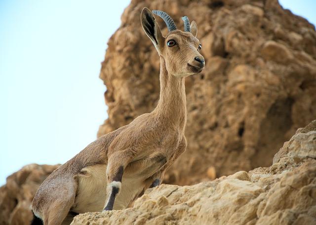 Mountain Goat, Rock, Desert, Capricorn, Animal