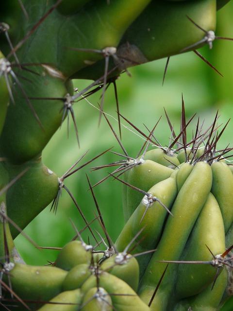 Rock Cactus, Cereus Peruvianus Monstrosus, Cereus