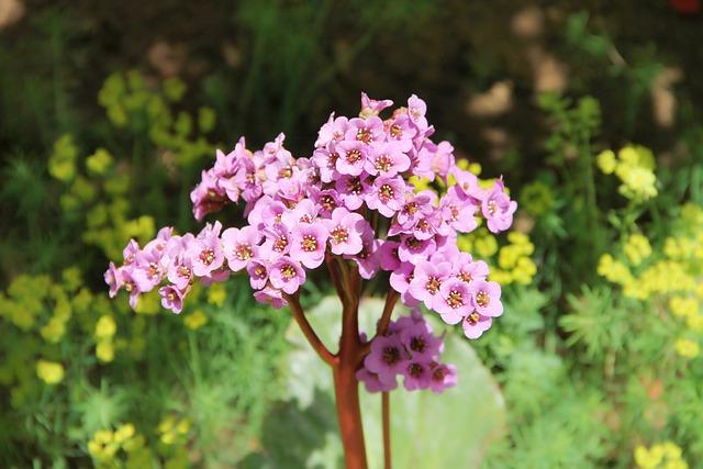 Bergenia, Settled Wurz, Rock Crushing Plant, Flower