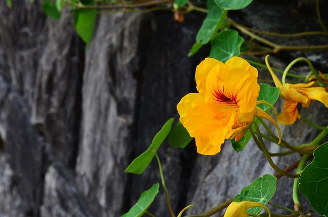 Nasturtium, Blossom, Bloom, Rock, Orange, Yellow, Red