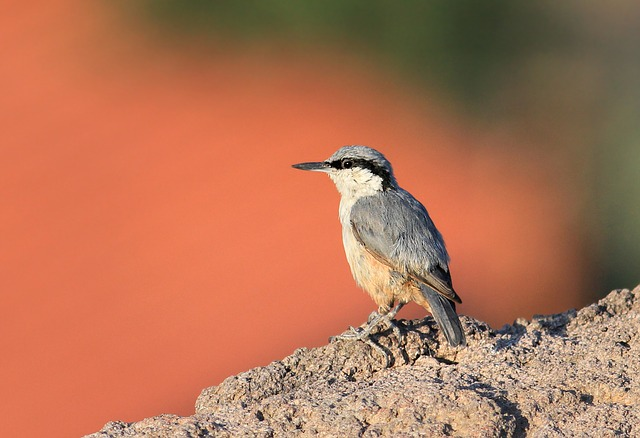 Rock Nuthatch, Plasterer, Nature, Scott, Bird, Natura