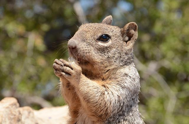 Squirrel, Mammal, Wildlife, Rodent, Rock Squirrel