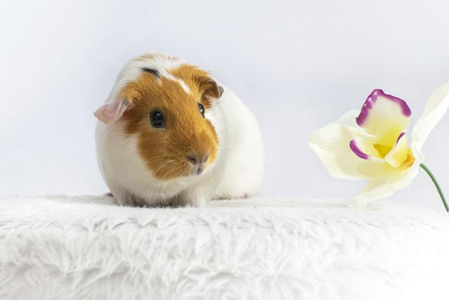 Animal, Guinea Pig, Rodent, Cute