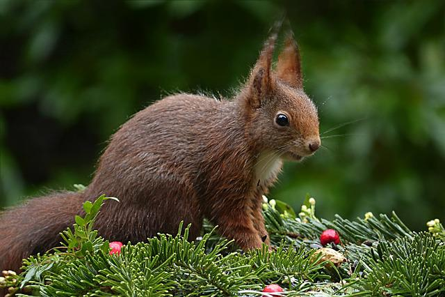 Animal, Rodent, Squirrel, Sciurus Vulgaris Major
