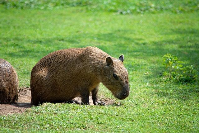 Capybara, Rodent, Animal, Mammal, Nager, Animal World
