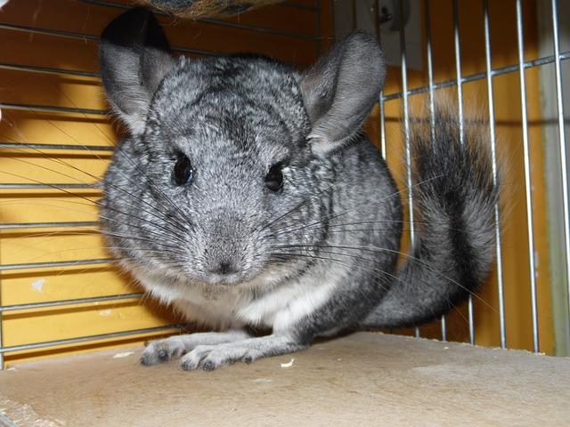 Chinchillas, Short Tailed Chinchilla, Rodent, Funny
