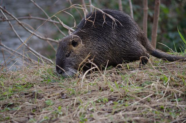 Nutria, Coypu, Neozoa, Nager, Rodent, Animal, Nature