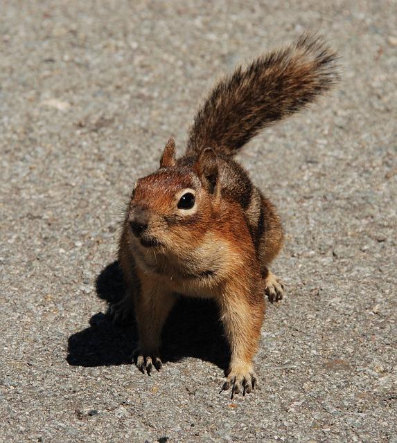 Free Photo Fauna Rodent Mammal Washington State Squirrel