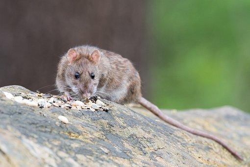 Brown Rat, Animal, Rodent, Rat, Nager, Food, Close