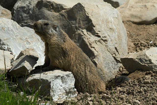 Marmot, Rodent, Marmota, Marmot Engineering, Furry