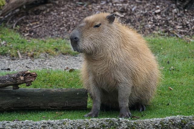 Capybara, Rodent, Herbivores, Largest Rodent