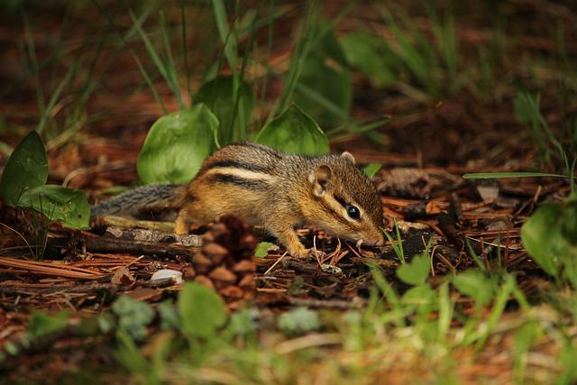 Chipmunk, Adorable, Small, Rodent, Mammal, Wildlife