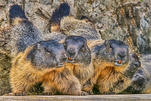 Marmot, Nature, Animal, Rodent, Alpine, Cute, Zoo